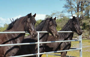 Faith Ranch Black Beauties